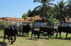 ilha-do-marajo-bufalos-destaque